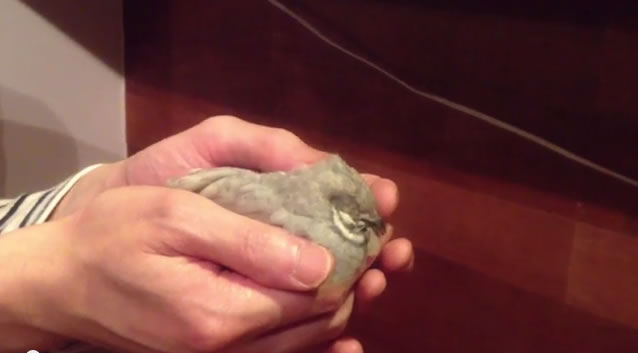 手乗りの文鳥とヒメウズラがいるカフェ「西荻窪・ことりや」レポート